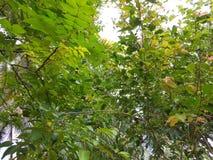 Árvores de frutos Imagens de Stock Royalty Free
