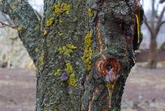 Árvores de goma Imagens de Stock Royalty Free