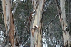 Árvores de goma australianas na neve Fotografia de Stock Royalty Free