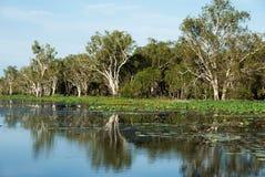 Árvores de goma refletidas Fotografia de Stock