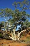 Árvores de gomas - eucalipto australiano Fotografia de Stock Royalty Free