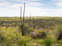 Árvores de grama, reserva natural de Wanagarren, Austrália Ocidental Foto de Stock Royalty Free