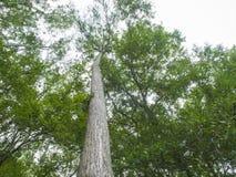 Árvores de HDR que olham acima em 90 graus Imagens de Stock Royalty Free