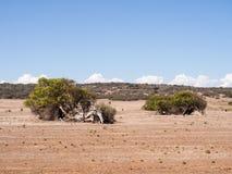 Árvores de inclinação, camaldunlensis do eucalipto, Geraldton Greenough, Austrália Ocidental Imagens de Stock