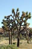 Árvores de Joshua Imagem de Stock