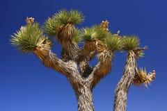 Árvores de Joshua no deserto Fotos de Stock Royalty Free