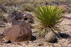 Árvores de Joshua no deserto Imagens de Stock Royalty Free