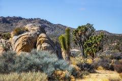 Árvores de Joshua no parque nacional do Mojave em Nevada Imagem de Stock