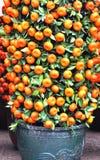 Árvores de kumquat Potted imagens de stock royalty free