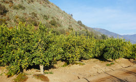 Árvores de limão Imagem de Stock