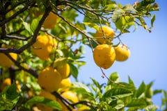 Árvores de limão em um bosque do citrino em Sicília imagem de stock royalty free