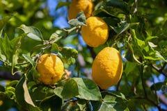 Árvores de limão em um bosque do citrino em Sicília imagem de stock