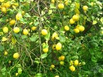 Árvores de limão verdes Fotos de Stock
