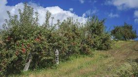 Árvores de maçã de Accending fotografia de stock royalty free