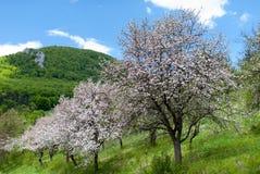 Árvores de maçã de florescência imagens de stock royalty free