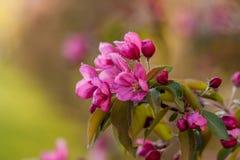 Árvores de maçã de florescência Flores cor-de-rosa cor bonita Fotografia de Stock Royalty Free