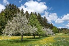 Árvores de maçã de florescência na paisagem rural foto de stock royalty free