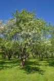 Árvores de maçã de florescência no jardim Foto de Stock Royalty Free