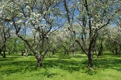 Árvores de maçã de florescência no jardim imagem de stock royalty free