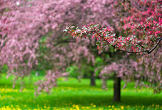 Árvores de maçã de florescência no parque Imagem de Stock
