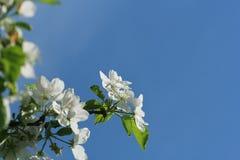 Árvores de maçã de florescência bonitas na primavera contra o céu azul Fotos de Stock