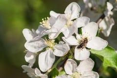 Árvores de maçã de florescência bonitas no fim do parque da mola acima imagens de stock royalty free