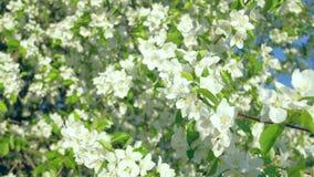 Árvores de maçã de florescência no jardim filme