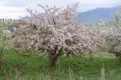 Árvores de maçã florescidas Natureza em Tekeli foto de stock