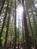 Árvores de madeira vermelhas altas da região da capa da montagem Imagem de Stock Royalty Free