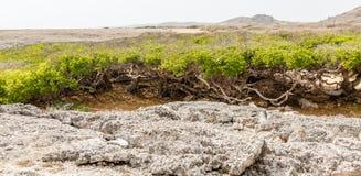 Árvores de Manchineel além do coral imagem de stock