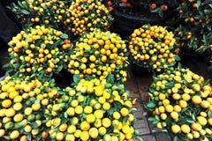 Árvores de mandarino imagem de stock