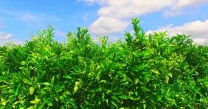 Árvores de mandarino antes da colheita video estoque