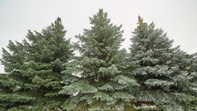 Árvores de Natal bonitas na neve inverno, geada fotografia de stock