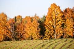 Árvores de Natal novas no outono Imagens de Stock