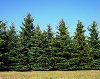 Árvores de Natal que crescem no parque imagem de stock