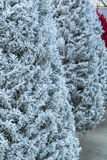 Árvores de Natal reunidas Fotos de Stock Royalty Free