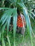 Árvores de Okinawa, plantas Foto de Stock Royalty Free
