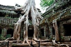 Árvores de Overgrowned no templo de Ta Prohm, Cambodia Imagem de Stock