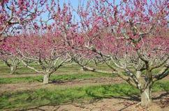 Árvores de pêssego da mola Fotos de Stock Royalty Free
