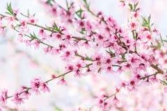 Árvores de pêssego de florescência bonitas na mola em um dia ensolarado Fotos de Stock Royalty Free