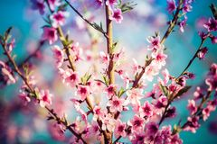 Árvores de pêssego de florescência bonitas na mola em um dia ensolarado Imagens de Stock