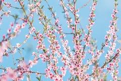 Árvores de pêssego de florescência bonitas na mola em um dia ensolarado Foto de Stock Royalty Free
