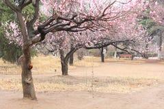 Árvores de pêssego na mola imagem de stock royalty free
