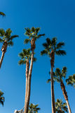 Árvores de palmas Foto de Stock