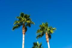 Árvores de palmas Fotografia de Stock
