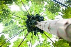 Árvores de papaia Foto de Stock