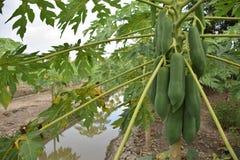 Árvores de papaia Fotografia de Stock Royalty Free