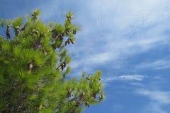 Árvores de Pinecone sob o céu azul Imagens de Stock