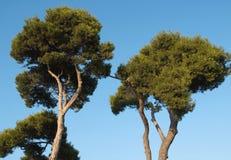 Árvores de pinho Imagem de Stock Royalty Free