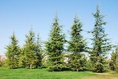 Árvores de pinho Fotografia de Stock